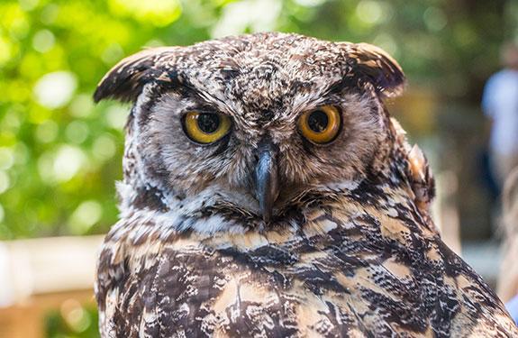 Owl at Capilano Suspension Bridge Vancouver